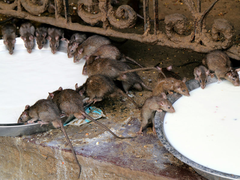 Temple-of-Rats