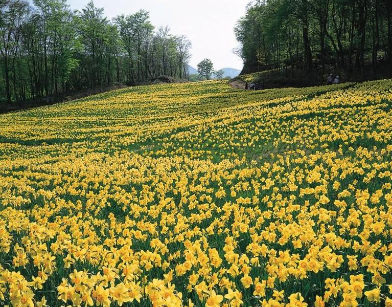 Poienile cu narcise din Dumbrava Vadului, un paradis floral