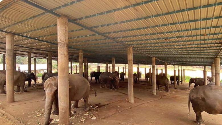 Uneori turismul finanțează și astfel de atrocități: imagini cu tehnici crude de dresaj aplicate elefanţilor destinaţi industriei turistice