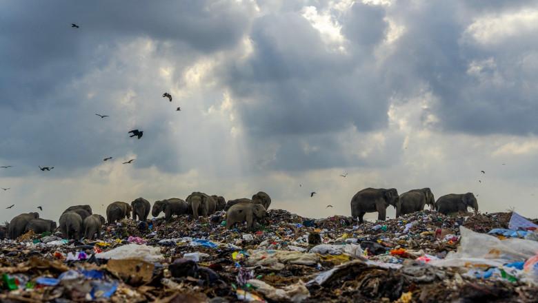Imaginea sfâșietoare a unei turme de elefanți care se hrănește din gunoaie