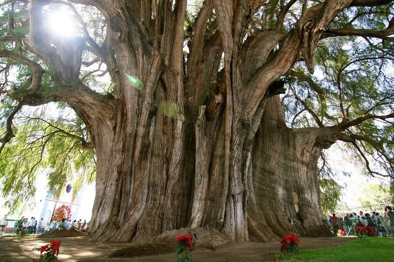 Cum arată copacul cu cel mai gros trunchi din lume