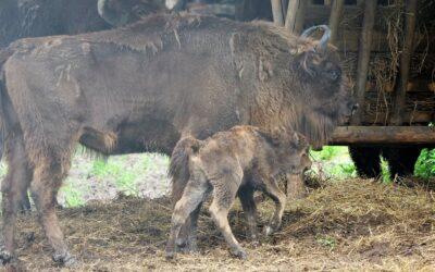 Cum arată cel mai tânăr membru al rezervației de zimbri din Hațeg