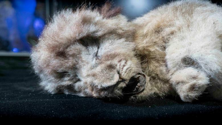Un pui de leu de peșteră de acum 28.000 de ani a fost descoperit conservat aproape intact