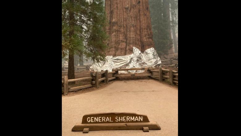Cel mai mare și mai vechi copac din lume, aflat în pericol să fie mistuit de flăcări, a fost înfășurat în pături din aluminiu